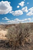Dry Sagebrush On The Hill