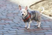 Постер, плакат: Dressed Chihuahua At Street