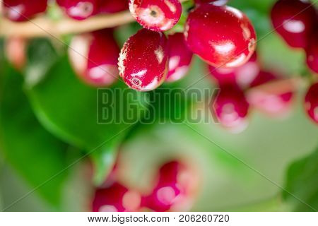 poster of Coffee Plant. Red coffee beans growing on a branch of coffee tree. Branch of a coffee tree with ripe