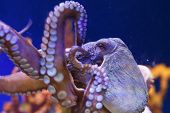 Octopus In A Marine Aquarium poster