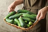 Woman holding wicker basket with many green fresh cucumbers, closeup poster