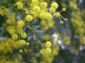 Acacia Branch