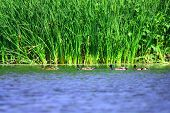 foto of tallgrass  - Ducks swimming next to tallgrass in a fresh water pond - JPG