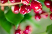 Coffee Plant. Red coffee beans growing on a branch of coffee tree. Branch of a coffee tree with ripe poster