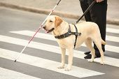Guide dog helping blind man on pedestrian crossing poster