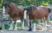 stock photo of clydesdale  - two clydesdale horses standing near a fence - JPG