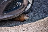 Closeup Of Rodent, Woodchuck, Muskrat Or Groundhog Hiding Under Car By Tire In Shadow poster