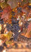 Autumn Wine Harvest