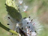 Milkweed Seeds Taking Flight