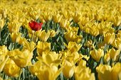 Single Red Tulip In Field Of Yellow