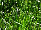 Natural Grass Illuminated By The Sun