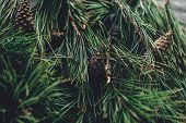 Christmas Tree Branches With Pine Cones On Rustic Background Top View, Space For Text. Stylish Xmas poster