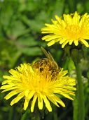 stock photo of farrow  - Yellow flower green spring bee field macro - JPG