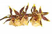 Odontoglossum Orchid Isolated