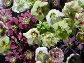 stock photo of lenten  - a great variety of hellebores - JPG