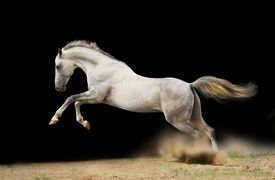 picture of wild horse running  - beautiful silver - JPG