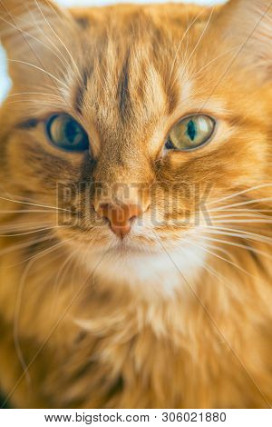 poster of Portrait of Brown Cat, Red Tabby Male Cat, Ginger Long Hair Cat, The Fluffy Pet, Young Orange Stripe