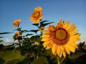 Good Morning. Beautiful Sunflowers In The Garden Under Clean Blue Sky In The Morning Welcoming New D poster