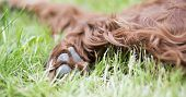 Paw And Soft Fur Of A Cute Furry Irish Setter Pet Dog As Resting In The Grass, Web Banner poster