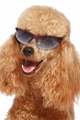 Close-up, Apricot Poodle Puppy In Sun Glasses