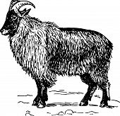 Goat hemitragus