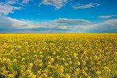 Raps Field With Blooming Flowers In A Beautiful Sunny Day. poster