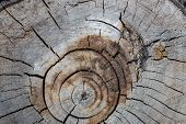 Stump Of Tree Felled, Section Of The Trunk. Background From The Stump Of A Felled Tree poster