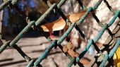 Old Dirty Rusty Wire Mesh Fence With Blue Peeling Paint And Fall Leaf And Seeds Closeup. Fall Leaves poster