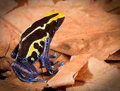 Dendrobatidae frog dendrobates tinctorius tropical anfíbios da floresta amazônica