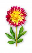Combined Unusual Dahlia Flower. Yellow-red Dahlia With Peony Leaves. Art Object. Object On A White B poster