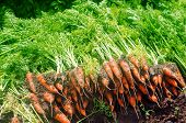 Harvesting Carrot On The Field. Growing Organic Vegetables. Freshly Harvested Carrots. Summer Harves poster