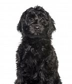 Mixed-breed labradoodle looking at camera against white background poster