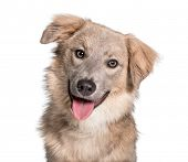 Panting Mixed-breed looking at camera against white background poster