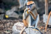 Patas Monkey Or Erythrocebus Patas Eats Fruit In Captivity poster