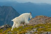 Profile Of Mountain Goat In Alpine Meadow In Washington Wilderness poster