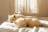 Pet Friendly Accommodation: Lazy Cute West Highland White Terrier Westie Dogs Having Morning Sleep I poster