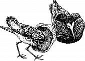 Ruff ave (Philomachus pugnax)