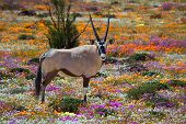 Oryx In Flowers