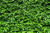 Green Bright Bush Shrub Leaves Texture. Front View Of The Bush. Bright Green Texture poster