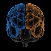 Hemispheres of the brain front view