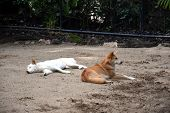 White And Red Dingos Relaxing In The Afternoon Sun In Australia Zoo. The Dingo Or Canis Lupus Is A F poster