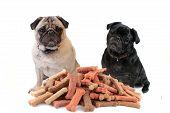 Two Cute Pugs Behind Dog Treats
