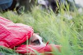 A Dog Rests In A Sleeping Bag In Tall Green Grass At A Camping Site. Active Rest With Domestic Pets  poster