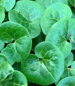 Fun Rounded Green Leaves Of Asiatic Pennywort poster