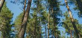 Waggling Coniferous Trees From Below Low Angle View Of Calmly Shaking Tall Evergreen Trees In Tranqu poster
