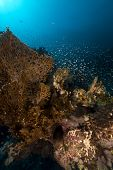 Fire coral and glassfish in the Red Sea.