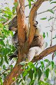 Resting Koala Bear In Eucalyptus Tree