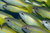 Yellowfins Goatfishes (Mulloides Vanicolensis) poster