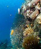 Glassfish And Anthias Around A Pinnacle