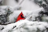 stock photo of cardinal  - Male northern cardinal sitting in an evergreen tree following a winter snowstorm - JPG